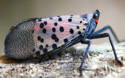 Spotted Lanternfly Control Program Applications Available