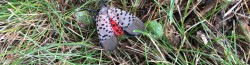 Lantern Fly on ground