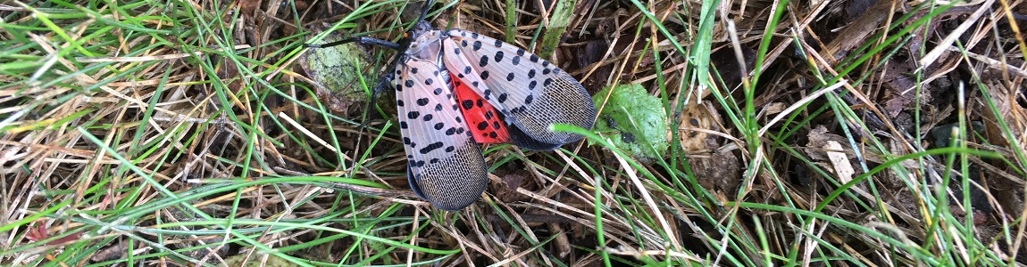 What to do if you find a spotted lanternfly on your property: