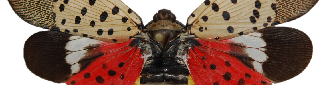 Spotted Lanternfly Poster Contest